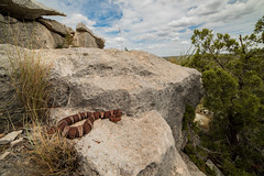 Trans Pecos Copperhead (Agkistrodon contortrix pictigaster) (Saundersdrukk) Tags: snake copperhead venomous herpetology herps snakes