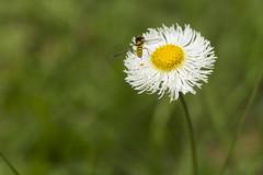 Pillada 1 (Gayoausius) Tags: macro macrofotografa insecto florhermosa flor floral flower avispa bokeh