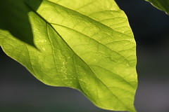 In the late afternoon light (CCphotoworks) Tags: ccphotoworks naturallight backlit outdoors nature leaf light