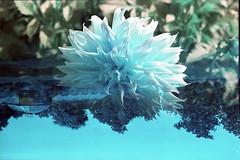 film (La fille renne) Tags: film analog 35mm lafillerenne minoltax700 50mmf2 lomography lomochrome lomochrometurquoise lomochrometurquoisexr100400 turquoise blue bluescale ebs exposingbothsidesofthefilm splitzer mx doubleexposure multipleexposure flowers landscape