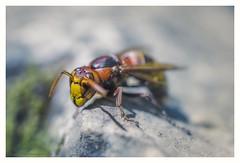 Hard decisions (s1nano) Tags: micronikkorafs40mm128g nikond7000 insect bug europeanhornet yellow orange bokeh dof rock macro nature