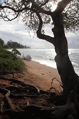 shelter from the storm (1600 Squirrels) Tags: 1600squirrels photo 5dii lenstagged canon24105f4 beach tree morning islanderonthebeach waipouli kapaa eastside kauai kauaicounty hawaii usa