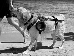 rescue dog (point camera) Tags: rescue dog soccorso beach baywatch animale cane spiaggia biancoenero blackandwhite monotone monochrome monocolore bnw bagno dogs cani searchandrescue bagnino bagnini salvataggio