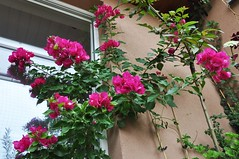 Lato na balkonie (bazylek100) Tags: polska poland krakw cracow balkon balcony natura nature flower bougainvillea bugenwilla lato summer
