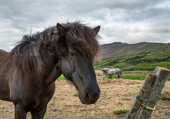 Curious (Kirk Lougheed) Tags: iceland icelandic animal horse landscape outdoor
