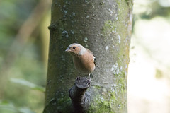 IMG_1288 (Rorals) Tags: bird birdsofbritain rspb lochwinnoch nature gardenbirdwatch gardenbird chaffinch finch