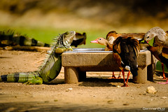 An unexpected guest at dinner (German Ruiz Photography) Tags: fujifilm xpro2 fujinon baru colombia nature duck lizard dinner