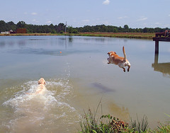 Why swim when you can fly? (jason.tiffin) Tags: dogs swimming animal outdoor water retrieve labs retriever labrador