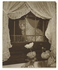 Cat in window, ca. 1925-ca. 1945, Sam Hood (State Library of New South Wales collection) Tags: statelibraryofnewsouthwales