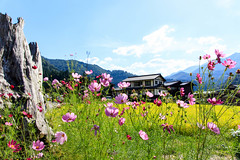 Cosmos flowers  (Sylvia Ting Photography) Tags: japan gifu shirakawago cosmos flower eos5dsr sigma summer