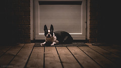 Flo Knows Drama. (pooshda) Tags: dog dogs boston terrier frenchie frenchbulldog bulldog blackandwhite color ears pointy shadow dramatic intense wood natural brick stone eerie drama cinematic stronglight lighting hardshadow dark night noir horror scary creepy cute love sony a7rii zeiss 55mm alpha