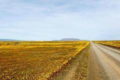 Brown road with yellow fields in the flat landscape that is Tankwa Karoo (markdescande) Tags: africa wind dry natural cape nature dawn south background karoo road outside geology gannaga african sky environment valley stone path grass scenic landscape sunset tankwa twist rises fog eastern outdoor clouds arid desert dusk gravel sun blue ravine rock geological pass cloud sunrise mist wild park nobody misty national mountain