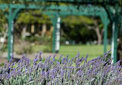 Springtime and Lavender (idunbarreid) Tags: lavender