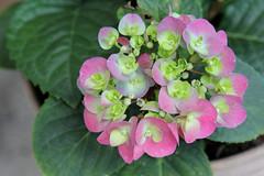 Hortencias del Amor (José Ramón de Lothlórien) Tags: flores pasto grass flower flowers hortencia trebol shamrock green