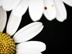 gears? (Gabriele Sesana) Tags: flower fiori daisies margherite petali petals