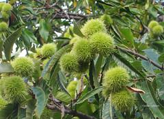2-IMG_3953 (hemingwayfoto) Tags: baum blatt eskastanie feinschmecker food frucht gourmet grn kastanie landwirtschaft laubbaum marone stachelig