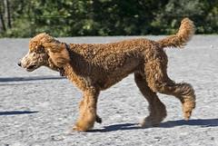 2697 (Jean Arf) Tags: ellison park dogpark rochester ny newyork september autumn fall 2016 poodle dog standardpoodle gladys run