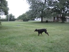1474713179_2016_Sep_24_06-32-59_yardx784 (yclept8) Tags: doberman julie