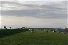rural (Elly Snel) Tags: ameland eiland island nl schapen sheep dike dijke gras weide meddow