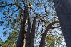 Angophora leiocarpa (dustaway) Tags: myrtaceae angophoraleiocarpa smoothbarkedapplegum australiantrees trunks