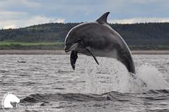 Hobbit breaching (Vicktrr) Tags: scotland jump jumping dolphin dolphins hobbit leap breaching morayfirth breach cetacean bottlenosedolphin crru