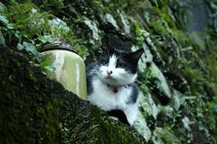 HouTong,Cat Village (Han.C) Tags: cat canon 貓 侯硐 houtong 猴硐 canon450d
