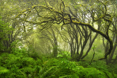 foggy morning, point reyes (andrew c mace) Tags: california morning forest landscape moss foggy tokina1224 pointreyes nationalseashore skycamp colorefex nikoncapturenx nikond90