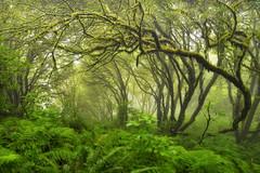 foggy morning, point reyes (andrew c mace) Tags: california morning forest landscape moss foggy tokina1224 pointreyes nationalseashore skycamp colorefex nikoncapturenx nikond90