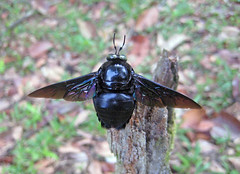 BlackBeeOfBorneo (Y Mucho Mas) Tags: black rainforest southeastasia bees insects bee jungle borneo iridescent nationalparks brunei invertebrates blackbee giantbees junglelodge negarabruneidarussalam rainforestinsects ulutemburong uluuluresort rainforestbees beesofborneo