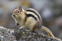 Golden-mantled Ground Squirrel - Callospermophilus lateralis (Paul B Jones) Tags: canada mountains nature animals mammal jasper wildlife alberta jaspernationalpark medicinelake goldenmantledgroundsquirrel callospermophiluslateralis