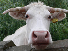 2012-07-18 at 20-12-50 (Biscuit761) Tags: white tree eye grass nose cow pad horns ears 200366