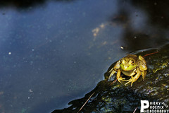 Your Prince Awaits Your Kiss (PhieryPhoenixPhotography) Tags: park nature phoenix animal photography lily massachusetts pad frog swamp gloucester frogs lilypad ravenswood phiery phieryphoenixphotography phieryphoenix