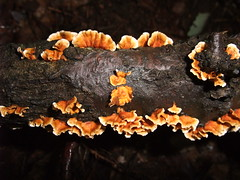 Orange fungus (AussieBotanist) Tags: orange polypore shelffungi