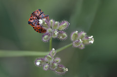 Chinche rayada (Anvica) Tags: naturaleza flower nature closeup bug sony flor bicho chinche tamron90 a350 fotografíadeaproximación