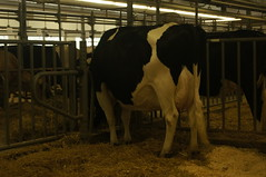 Arethusa (Carrie J. Bosch) Tags: boot shoe cow high flat sale farm connecticut ct veronica jersey dairy manolo calf bovine holstein heal litchfield arethusa blahnik heifer
