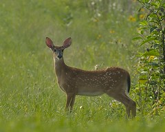 Whitetail Fawns (snooker2009) Tags: baby nature babies wildlife deer fawn whitetail photocontesttnc12 dailynaturetnc12 photoofthedaynwf12