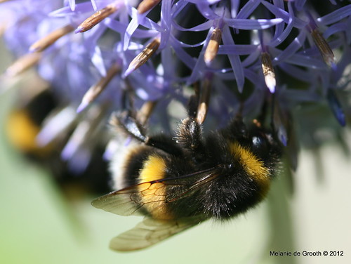 Bumble Bee on Globe Thistle 3