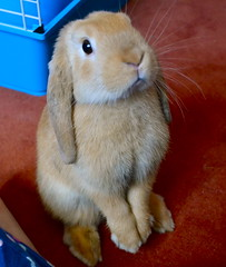 """""""Hellooo up there!!"""" (mylo_rabbit) Tags: pet baby cute rabbit bunny bunnies love face animal nose ginger furry friend funny expression lol adorable handsome fluffy ears cheeky whiskers rabbits paws companion hehe facial lapin mylo actionshot houserabbit lop minilop actionhop"""