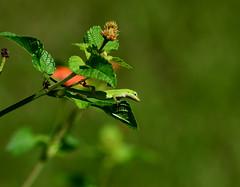 Young Anole (TMurph51) Tags: green nature georgia nikon lizard anole lantana d5100