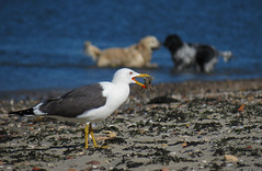 20120526_06 Lesser black-backed gull (Larus fuscus), crab, & dogs | Hoek van Holland, the Netherlands (ratexla) Tags: life travel vacation favorite holiday holland cute travelling bird beach nature netherlands beautiful birds animal animals pain cool europe bokeh earth wildlife gull gulls thenetherlands crab backpacking journey traveling crabs biology epic ornithology interrail animalplanet semester 2012 zoology interrailing tellus hoek fglar djur fgel hoekvanholland organism nonhumananimals hookofholland eurail lesserblackbackedgull larusfuscus trut tgluff nederlnderna krabba vilda europaeuropean nonhumananimal tgluffning silltrut tgluffa ratexla eurailing photosbyjosefinestenudd photophotospicturepicturesimageimagesfotofotonbildbilder theeternityset canonpowershotsx40hs 26may2012 ratexlasinterrailtrip2012 resaresor tgresatgresor