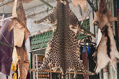 leopard pelt for sale in the ancient medina in Marrakech, Morocco (jitenshaman) Tags: africa travel animal skin market morocco hide leopard marrakech souk medina destination vendor marrakesh endangered pelt animalskin worldlocations