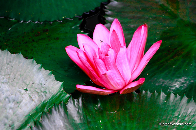 Lotus Blooms At Periyar Tiger Reserve, Thekkady, Kerala