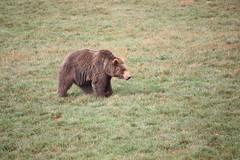 brown bear (Olaya Garcia) Tags: bear parque naturaleza brown canon eos oso santander pardo brownbear ursusarctos cabarceno osopardo arctos usrus 1000d