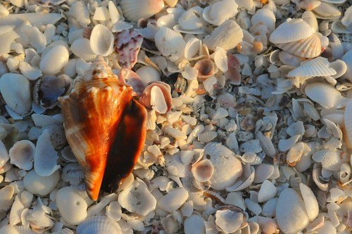 Florida Fighting Conch - Sanibel Island