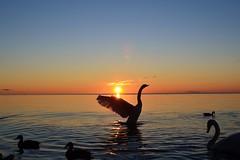 Morning Stretch (ryand1975) Tags: morning sun lake ontario canada water burlington sunrise nikon wildlife swans iamcanadian d5100