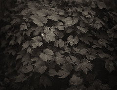 Wild Grape Leaves (interrobangart) Tags: wild tree film leaves landscape blackwhite branches shelter grape 4x5film