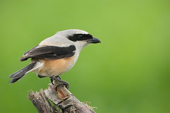 Long-tailed Shrike with a short looking tail (Rajiv Lather) Tags: camera india bird nature birds animal fauna canon photography photo image bokeh wildlife indian birding pic aves photograph monsoon birdwatching birder rajasthan ajmer telephotolens avifauna birdwatcher rajiv lather butcherbird sarwar passeriformes birdphotography laniusschach longtailedshrike shrikes laniidae nasirabad avianexcellence gorgeousbackground shonkhaliya