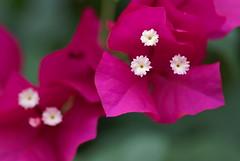 Bougainvillea (peaceful-jp-scenery (busy)) Tags: flower garden sony 日本 bandai α listel 福島 inawashiro ブーゲンビリア dslra100 猪苗代 minoltaafmacro100mmf28 リステル