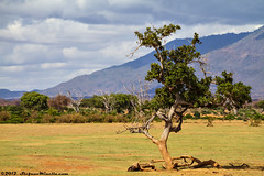 Tree Landscape (Stefano.Minella) Tags: park street 2 wild portrait baby tree male animal animals photoshop canon that landscape eos for this is photo holidays all looking with post kenya shots eating year  over some taken running days here went east safari most where national 7d zebra unknown l production they usm impala kicking ef f4 spent 41 tsavo giraffa 2012 stefano lightroo