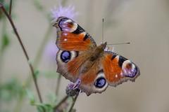 Pfauenauge (Grneseis) Tags: nikon schmetterling bea makro macro butterfly insect insekten tamron pflanze blte outdoor landschaft feld schrfentiefe